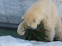 上野動物園2014年1月しろくまのデアは葉っぱで遊ぶ