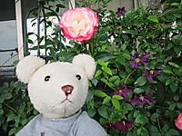 ぼくのベランダは小さなバラ園2014年5月