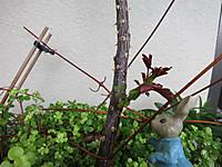 真夏のバラ(ニュードーン)のシュート