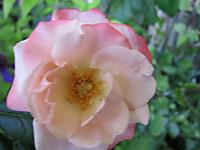 バラ(ノスタルジー)の小さなお花