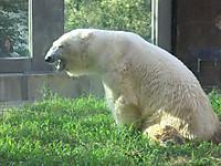 真夏の夜の動物園2014 土の運動場のしろくま