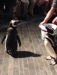 すみだ水族館2014年8月ペンギンウォーク3回目