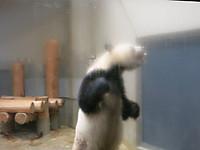 真夏の夜の動物園2014 パンダの運動