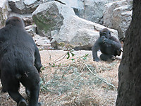 真夏の夜の動物園2014 西ローランドゴリラのコモモとモモカ