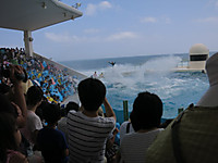 鴨川シーワールド2014年8月 シャチの営業(笑)