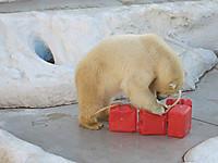 上野動物園2015年1月しろくまのデアは赤いタンクがお気に入り