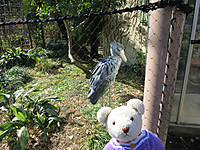 上野動物園2015年1月ハシビロコウは寒さを気にしない
