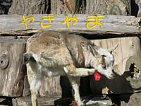 上野動物園2015年1月ヤギ