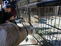 上野動物園2015年1月ヤギの盗み食い